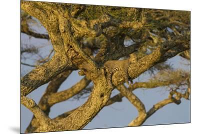Africa. Tanzania. African leopard napping in a tree, Serengeti National Park.-Ralph H^ Bendjebar-Mounted Premium Photographic Print