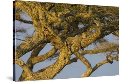 Africa. Tanzania. African leopard napping in a tree, Serengeti National Park.-Ralph H^ Bendjebar-Stretched Canvas Print