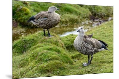 Blue-winged Goose, Cyanochen cyanoptera. Bale Mountains National Park. Ethiopia.-Roger De La Harpe-Mounted Premium Photographic Print