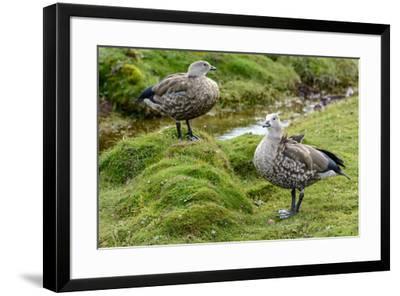 Blue-winged Goose, Cyanochen cyanoptera. Bale Mountains National Park. Ethiopia.-Roger De La Harpe-Framed Premium Photographic Print
