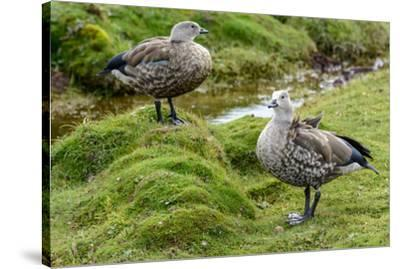 Blue-winged Goose, Cyanochen cyanoptera. Bale Mountains National Park. Ethiopia.-Roger De La Harpe-Stretched Canvas Print