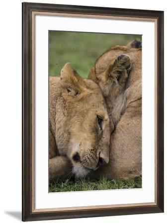 Africa. Tanzania. African lions at Ndutu, Serengeti National Park.-Ralph H^ Bendjebar-Framed Premium Photographic Print