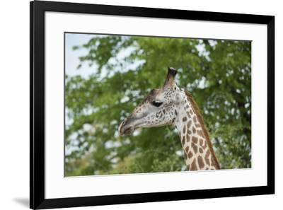 Africa, Zambia, South Luangwa National Park, during green season. Thornicroft's giraffe.-Cindy Miller Hopkins-Framed Photographic Print