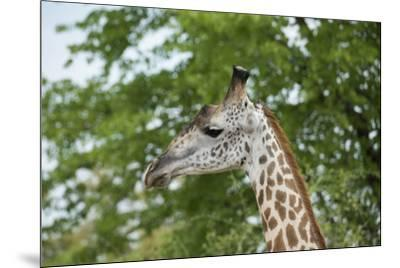 Africa, Zambia, South Luangwa National Park, during green season. Thornicroft's giraffe.-Cindy Miller Hopkins-Mounted Photographic Print
