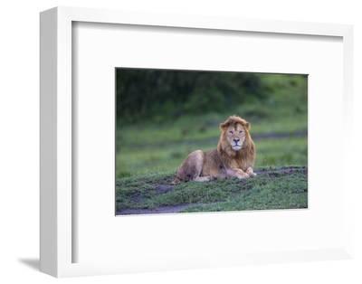 Africa. Tanzania. Male African Lion at Ndutu, Serengeti National Park.-Ralph H^ Bendjebar-Framed Photographic Print