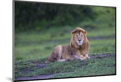Africa. Tanzania. Male African Lion at Ndutu, Serengeti National Park.-Ralph H^ Bendjebar-Mounted Photographic Print