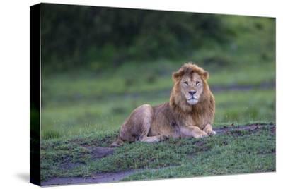 Africa. Tanzania. Male African Lion at Ndutu, Serengeti National Park.-Ralph H^ Bendjebar-Stretched Canvas Print