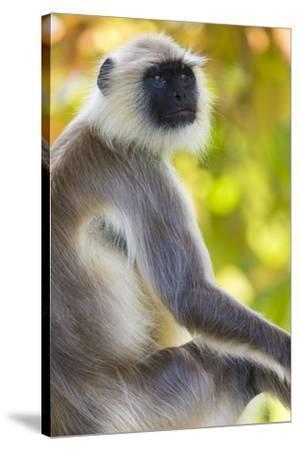 India. Grey langur, Hanuman langur at Bandhavgarh Tiger Reserve-Ralph H^ Bendjebar-Stretched Canvas Print
