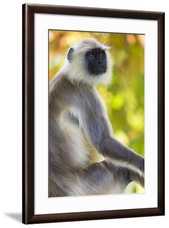 India. Grey langur, Hanuman langur at Bandhavgarh Tiger Reserve-Ralph H^ Bendjebar-Framed Premium Photographic Print