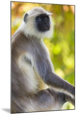 India. Grey langur, Hanuman langur at Bandhavgarh Tiger Reserve-Ralph H^ Bendjebar-Mounted Premium Photographic Print