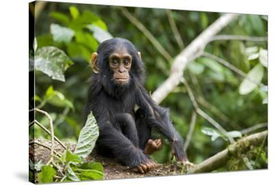 Africa, Uganda, Kibale National Park. An infant chimpanzee pauses briefly during play.-Kristin Mosher-Stretched Canvas Print