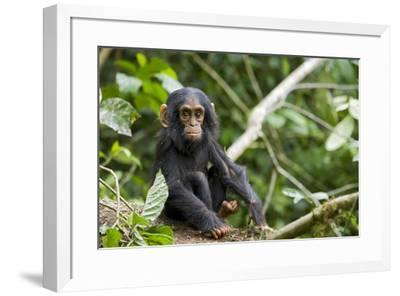 Africa, Uganda, Kibale National Park. An infant chimpanzee pauses briefly during play.-Kristin Mosher-Framed Premium Photographic Print