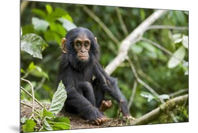 Africa, Uganda, Kibale National Park. An infant chimpanzee pauses briefly during play.-Kristin Mosher-Mounted Premium Photographic Print