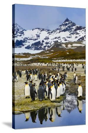 South Georgia Island, St. Andrew's Bay, King Penguins-Hollice Looney-Stretched Canvas Print