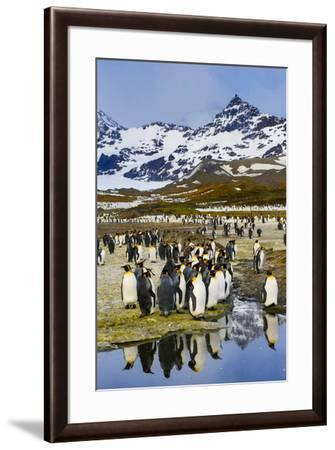 South Georgia Island, St. Andrew's Bay, King Penguins-Hollice Looney-Framed Premium Photographic Print