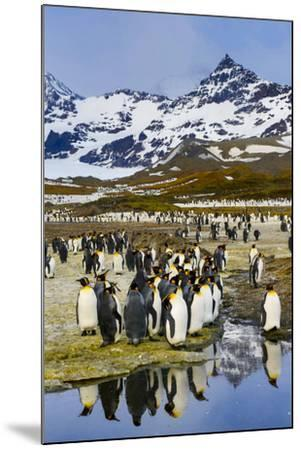 South Georgia Island, St. Andrew's Bay, King Penguins-Hollice Looney-Mounted Premium Photographic Print