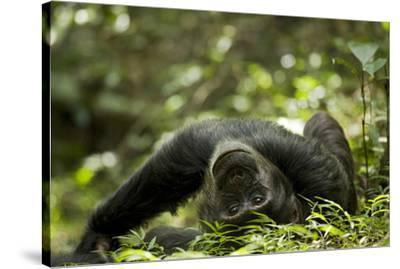 Africa, Uganda, Kibale National Park. A young adult male chimpanzee lying down on forest path.-Kristin Mosher-Stretched Canvas Print