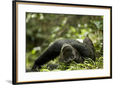Africa, Uganda, Kibale National Park. A young adult male chimpanzee lying down on forest path.-Kristin Mosher-Framed Premium Photographic Print