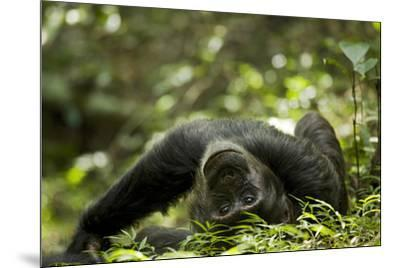 Africa, Uganda, Kibale National Park. A young adult male chimpanzee lying down on forest path.-Kristin Mosher-Mounted Premium Photographic Print