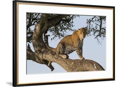 Africa, Kenya, Masai Mara National Reserve, African Leopard in tree.-Emily Wilson-Framed Premium Photographic Print