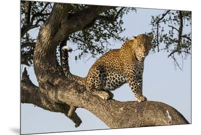 Africa, Kenya, Masai Mara National Reserve, African Leopard in tree.-Emily Wilson-Mounted Premium Photographic Print
