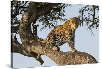 Africa, Kenya, Masai Mara National Reserve, African Leopard in tree.-Emily Wilson-Stretched Canvas Print