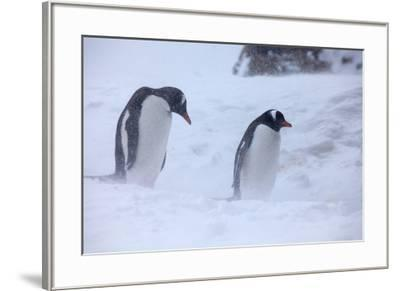 Antarctica, Brown Bluff, Gentoo Penguins in Snow Storm-Hollice Looney-Framed Premium Photographic Print