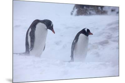 Antarctica, Brown Bluff, Gentoo Penguins in Snow Storm-Hollice Looney-Mounted Premium Photographic Print