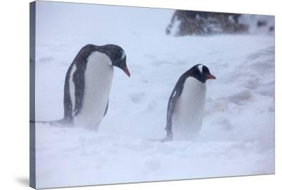 Antarctica, Brown Bluff, Gentoo Penguins in Snow Storm-Hollice Looney-Stretched Canvas Print