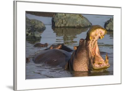 Africa. Tanzania. Hippopotamus, Serengeti National Park.-Ralph H^ Bendjebar-Framed Premium Photographic Print