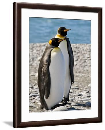 penguin, King, pair-George Theodore-Framed Photographic Print