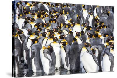 Antarctica, South Georgia Island, Salisbury Plain, King Penguins-Hollice Looney-Stretched Canvas Print