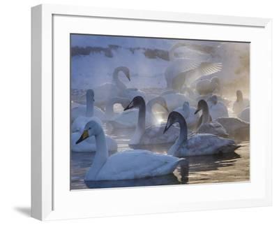 Whooper swans, Hokkaido Island, Japan-Art Wolfe-Framed Photographic Print