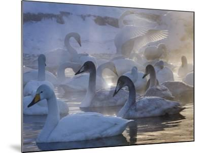 Whooper swans, Hokkaido Island, Japan-Art Wolfe-Mounted Photographic Print