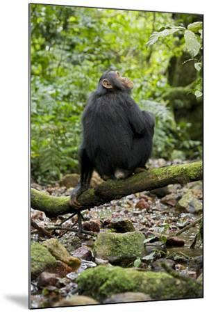 Africa, Uganda, Kibale National Park. A juvenile chimp sits on a branch over a stream.-Kristin Mosher-Mounted Premium Photographic Print