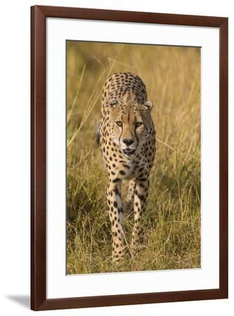 Africa. Tanzania. Cheetah hunting on the plains of the Serengeti, Serengeti National Park.-Ralph H^ Bendjebar-Framed Premium Photographic Print