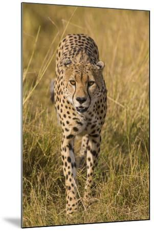 Africa. Tanzania. Cheetah hunting on the plains of the Serengeti, Serengeti National Park.-Ralph H^ Bendjebar-Mounted Premium Photographic Print