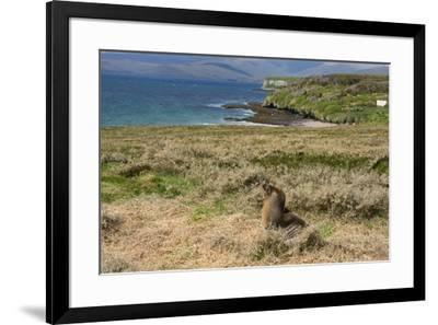 New Zealand, Enderby Island, Sandy Bay. New Zealand sea lion.-Cindy Miller Hopkins-Framed Premium Photographic Print