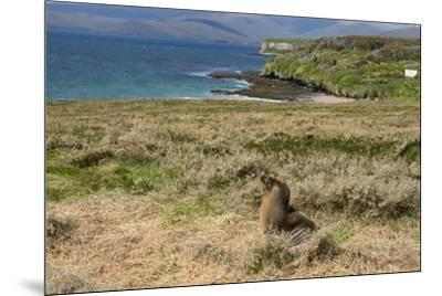 New Zealand, Enderby Island, Sandy Bay. New Zealand sea lion.-Cindy Miller Hopkins-Mounted Premium Photographic Print
