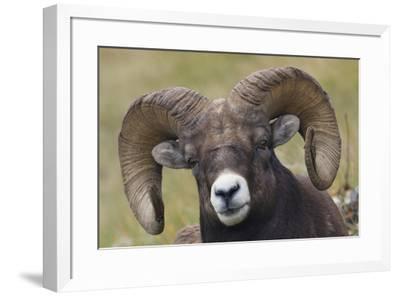 Bighorn sheep ram-Ken Archer-Framed Premium Photographic Print