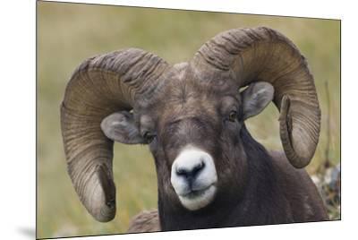 Bighorn sheep ram-Ken Archer-Mounted Premium Photographic Print