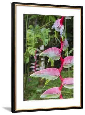 Heliconia, Asa Wright Nature Preserve-Ken Archer-Framed Premium Photographic Print