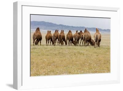 Bactrian Camel Herd. Gobi Desert. Mongolia.-Tom Norring-Framed Premium Photographic Print