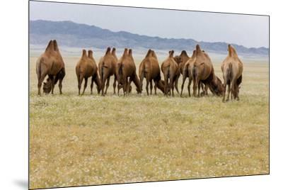 Bactrian Camel Herd. Gobi Desert. Mongolia.-Tom Norring-Mounted Premium Photographic Print