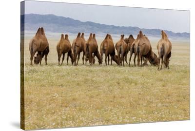Bactrian Camel Herd. Gobi Desert. Mongolia.-Tom Norring-Stretched Canvas Print