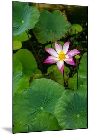 Lotus Blossom Flower, Ving Trang Pagoda, Vietnam, Asia-Douglas Peebles-Mounted Premium Photographic Print