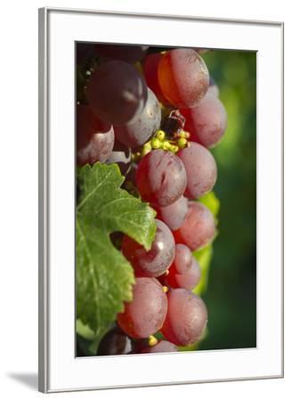 France, Alsace, Eguisheim. A bunch of Gewurztraminer grapes.-Janis Miglavs-Framed Premium Photographic Print