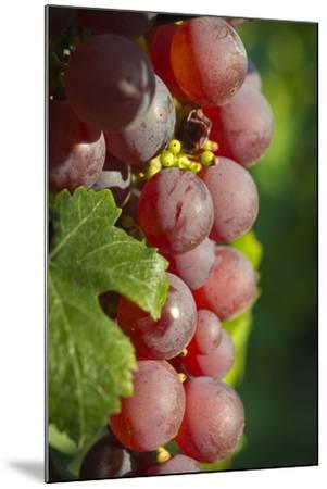 France, Alsace, Eguisheim. A bunch of Gewurztraminer grapes.-Janis Miglavs-Mounted Premium Photographic Print