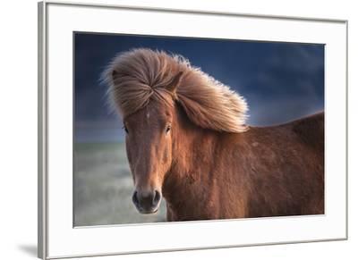 Iceland. Icelandic horse in sunset light.-Jaynes Gallery-Framed Premium Photographic Print