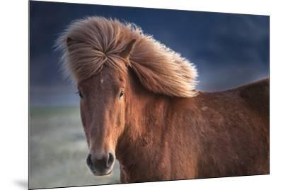 Iceland. Icelandic horse in sunset light.-Jaynes Gallery-Mounted Premium Photographic Print
